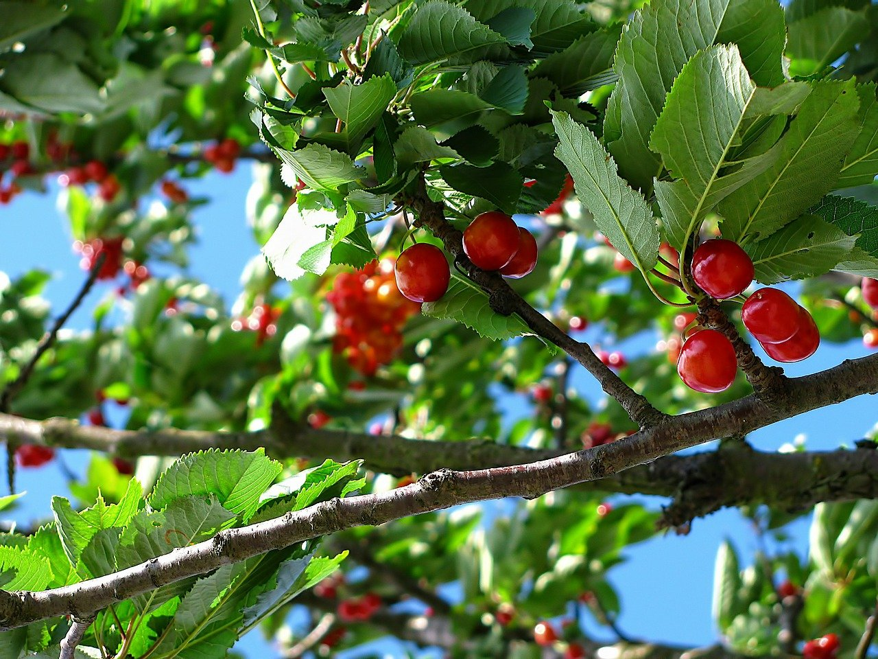 Branch of tree with cherries growing