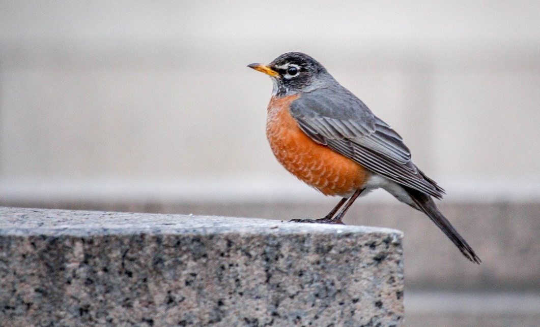 Robin perched on a wall