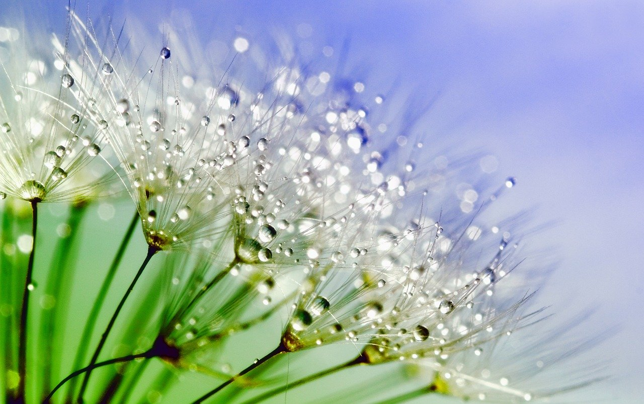 macro photo of dandelion with water