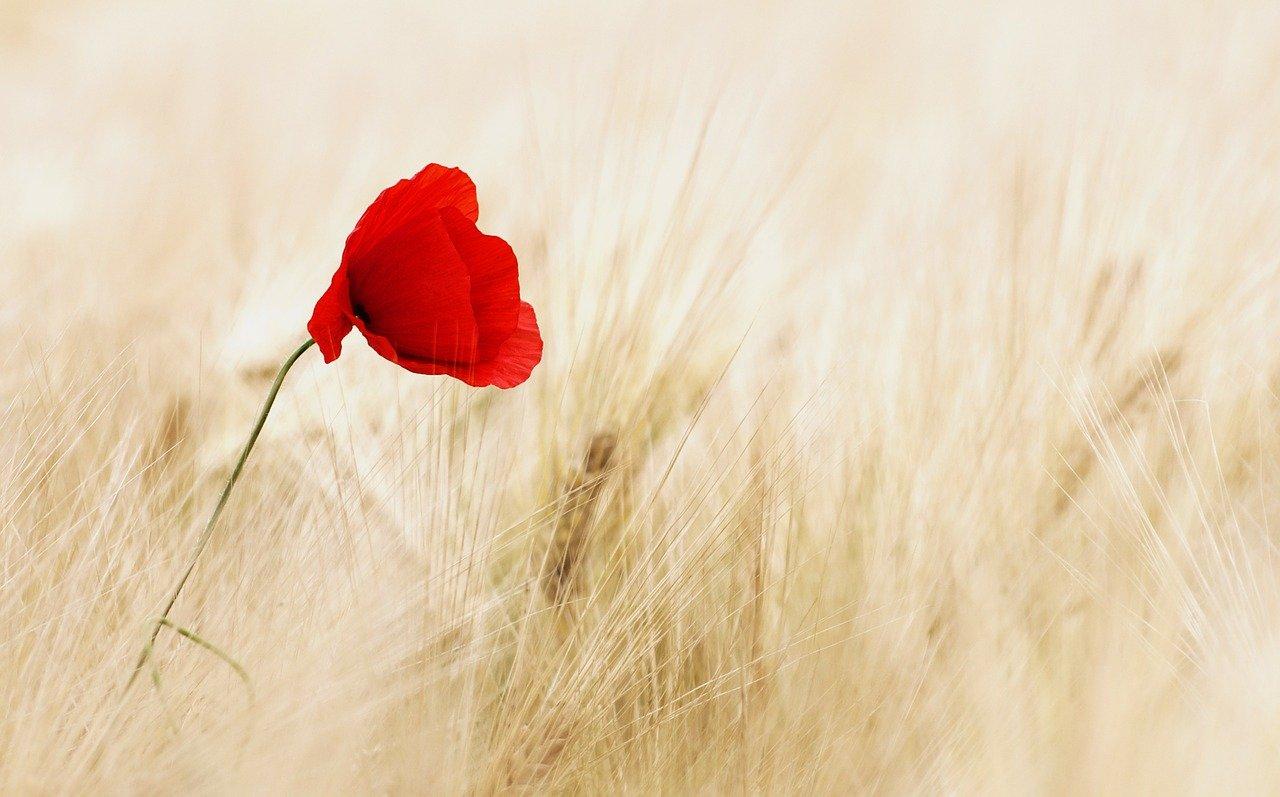 red poppy in brown field
