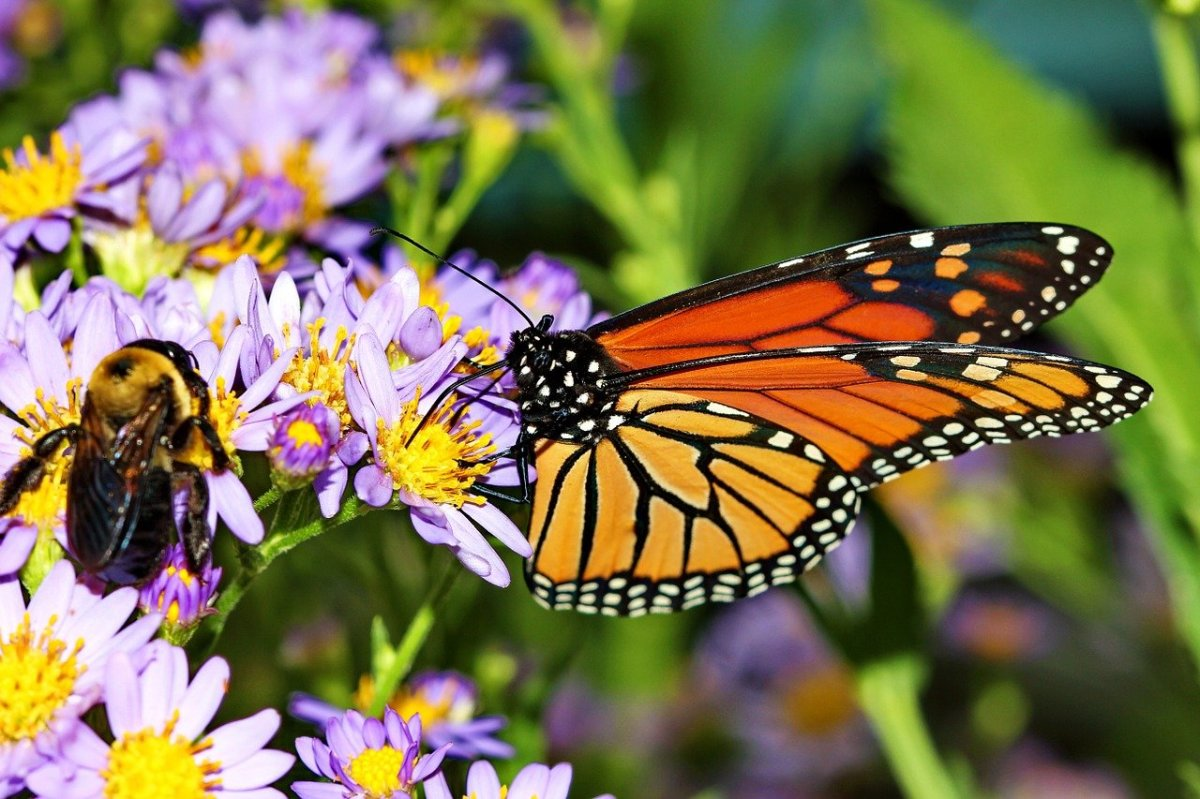 monarch butterfly and bee on purple blossoms